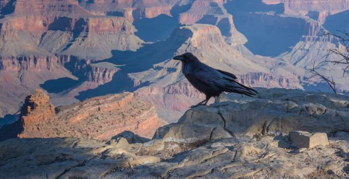 Grand Canyon Raven