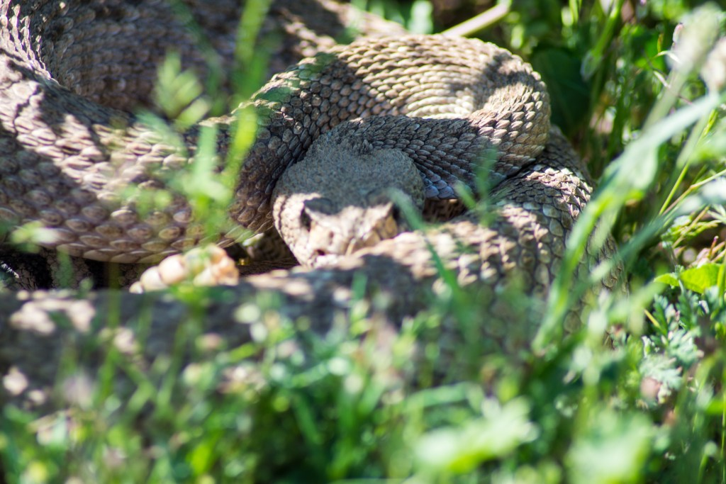 Rattlesnake hiding in weeds
