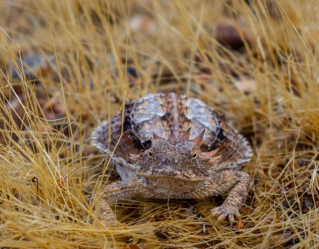 Momma Horny Toad
