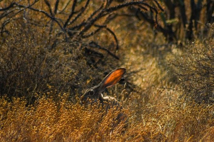 Jackrabbit getting shade