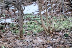 Snowdrops (Galanthus), a sure sign of Spring!