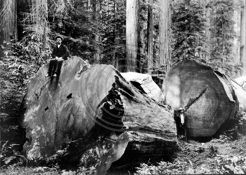 The Old Photo Guy  Historical Logging  Redwood Butt Cut
