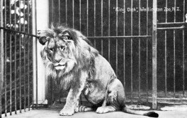 """""""King Dick"""" (named after Prime Minister Richard Seddon) was Wellington Zoo's first animal in 1906. Wellington Zoo"""