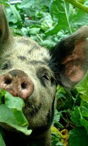 piggy-in-turnips