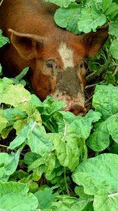 pigs-in-turnips