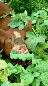 pigs-in-turnips2