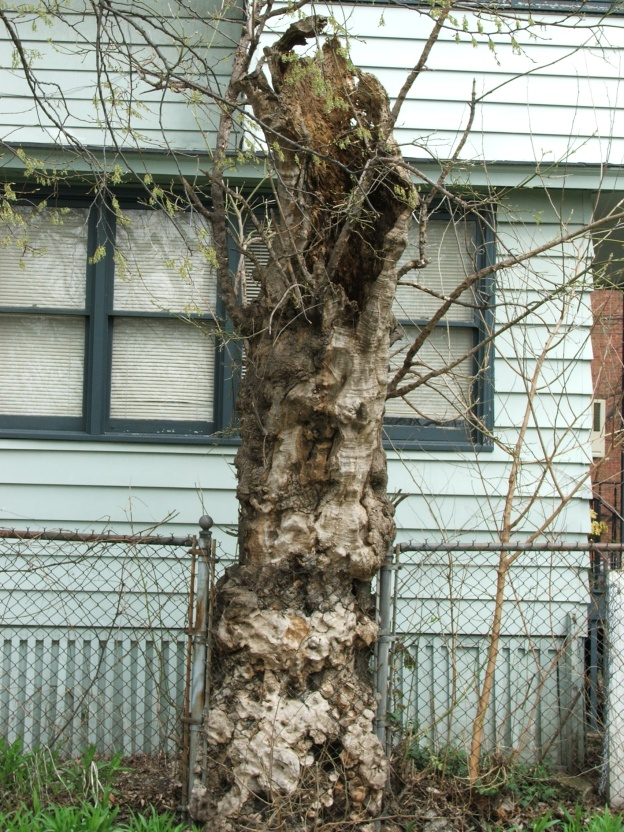 This old and very interesting tree served as my inspiration.