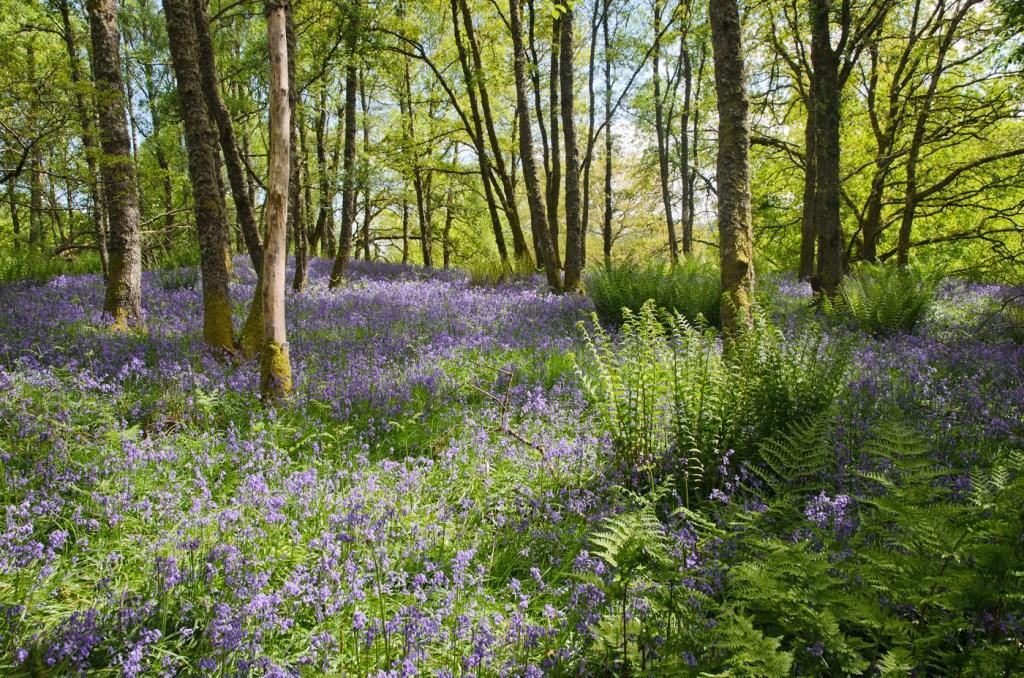 Trowan Bluebell Wood beside Crieff