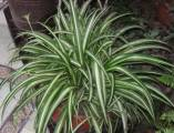 Spider Plant courtesy of wikipedia