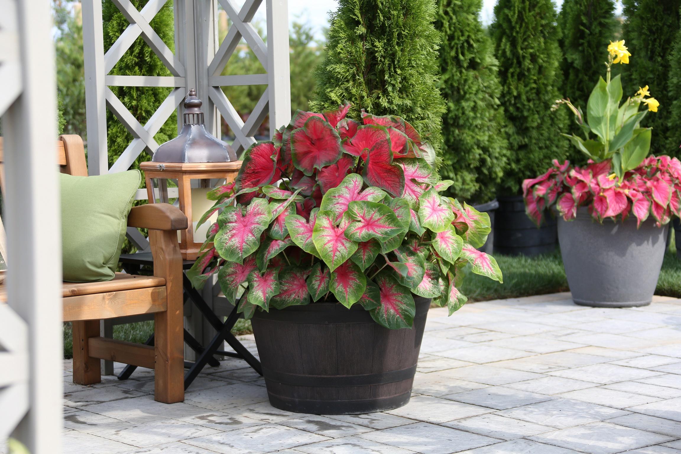 Colorful Caladiums Brighten Shade Gardens All Season