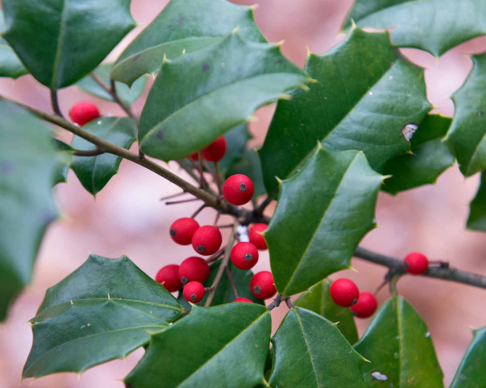 Holly, by golly, brightens the landscape beyond holidays