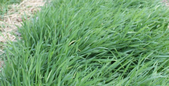 6 Great Reasons To Plant A Cover Crop In Your Garden This Fall!