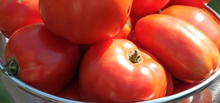 How To Grow Healthy Tomato Plants This Year