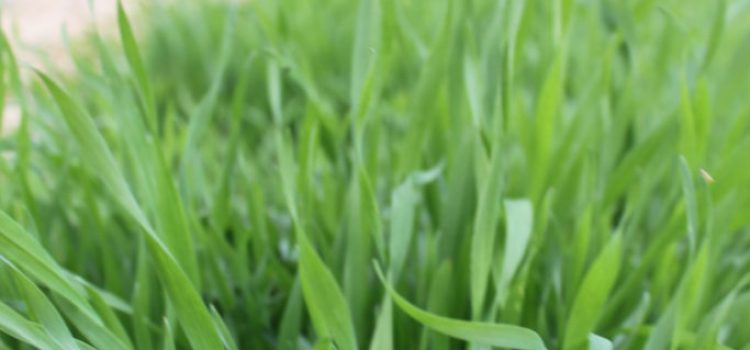 How To Plant A Fall Cover Crop In Your Garden