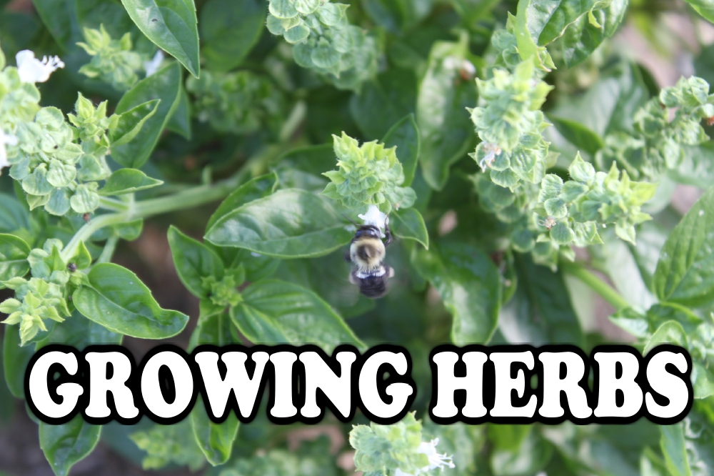 Growing Herbs Great For Your Garden And Your Kitchen