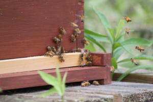 The dwindling bee population is a concern for gardeners.