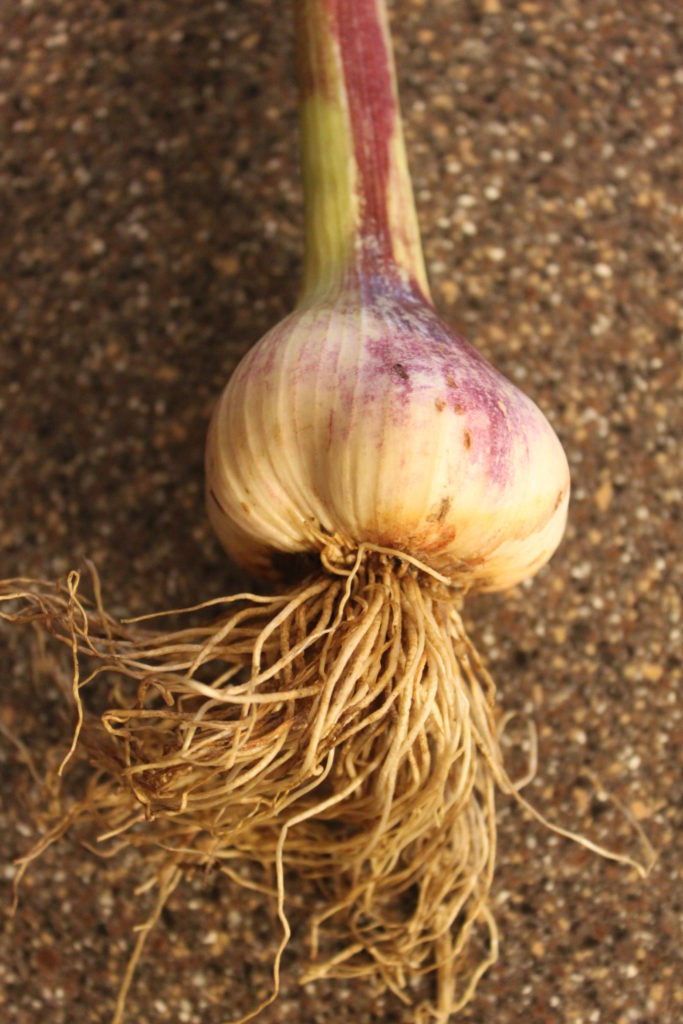 How To Grow Cure And Store Your Own Garlic Old World Garden Farms