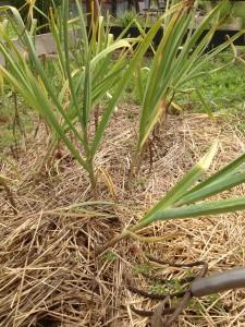 Digging up the garlic