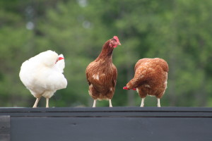 3 of our original nine hanging out on top of the coop.