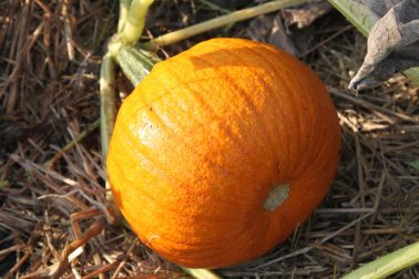 One of our pie pumpkins from the garden. Soon to be Pumpkin Pumpkin Puree!