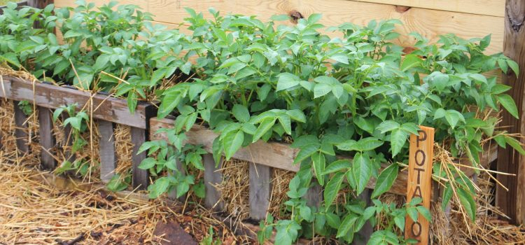 Growing Potatoes With Homemade Potato Crates – Vertically!
