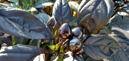 Black Pearl ornamental peppers have dark black to deep red peppers on deep purple foliage