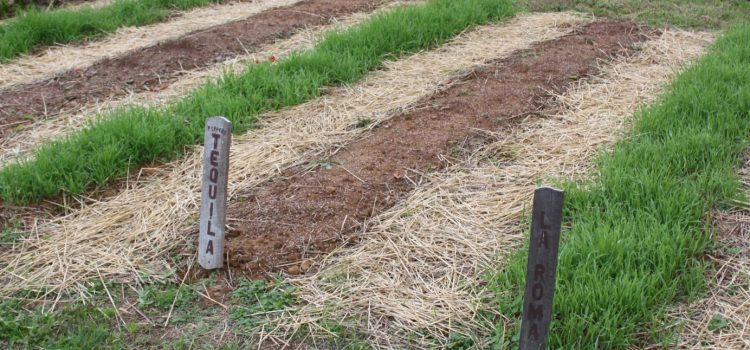 Putting The Garden To Bed – How To Plant A Cover Crop This Fall!