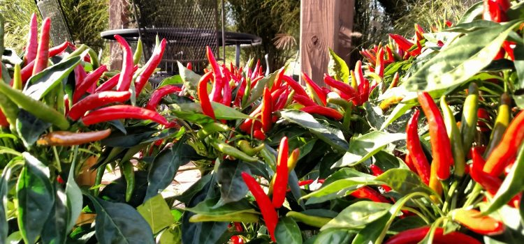 Ornamental Peppers In The Landscape..Spice Up Your Flower Beds and Your Taste Buds!