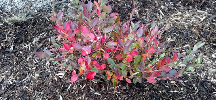 How To Transplant Bushes, Shrubs and Trees In Late Fall