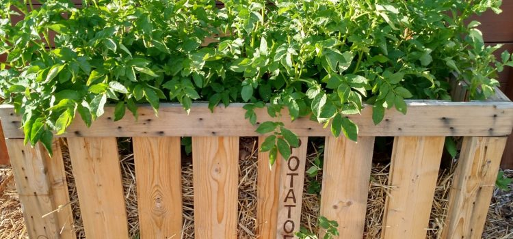 Growing Potatoes In Crates – A Big Harvest With Little Effort!