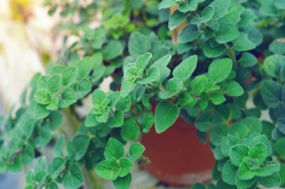 5 Perfect Plants to Grow to Repel Mosquitoes From Your Patio, Yard and Garden (Video)