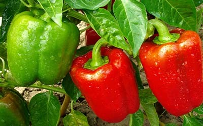 Fertilizing vegetable gardens organically when how and - When to fertilize vegetable garden ...