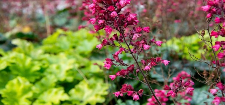 Perennial Plants – 5 Great Choices For Summer Planting And Lasting Color!
