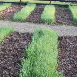 When And How To Plant A Fall Cover Crop – The Most Vital Crop Of All!