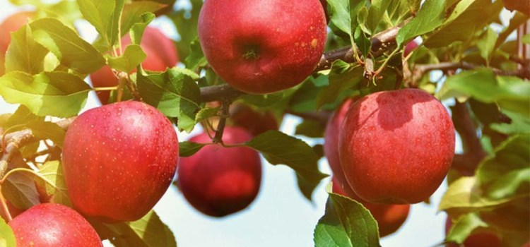Planting Apple Trees – 3 Great Backyard Varieties To Plant This Fall!