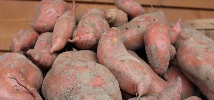 A Harvest Beyond Belief! An Amazing Way To Grow Sweet Potatoes