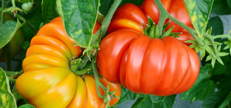 4 Must-Try Heirloom Tomato Plants To Rock Your Garden This Year!