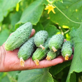 An Amazing Way To Grow Cucumbers With Little Effort!