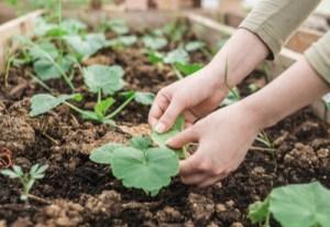 vegetable garden tips