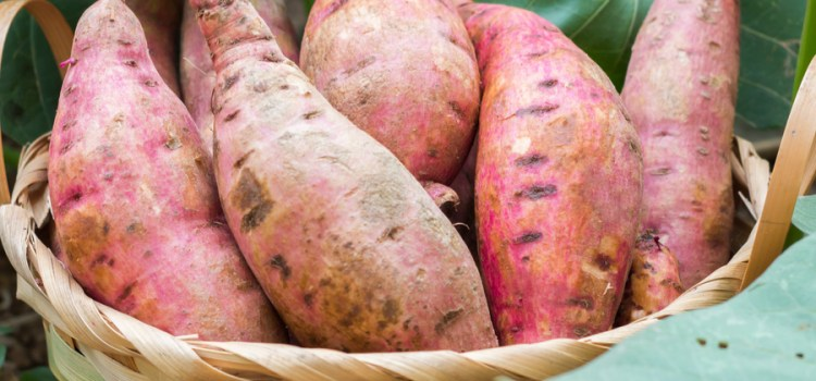 The Most Incredible Way To Plant, Grow And Harvest Sweet Potatoes Ever!
