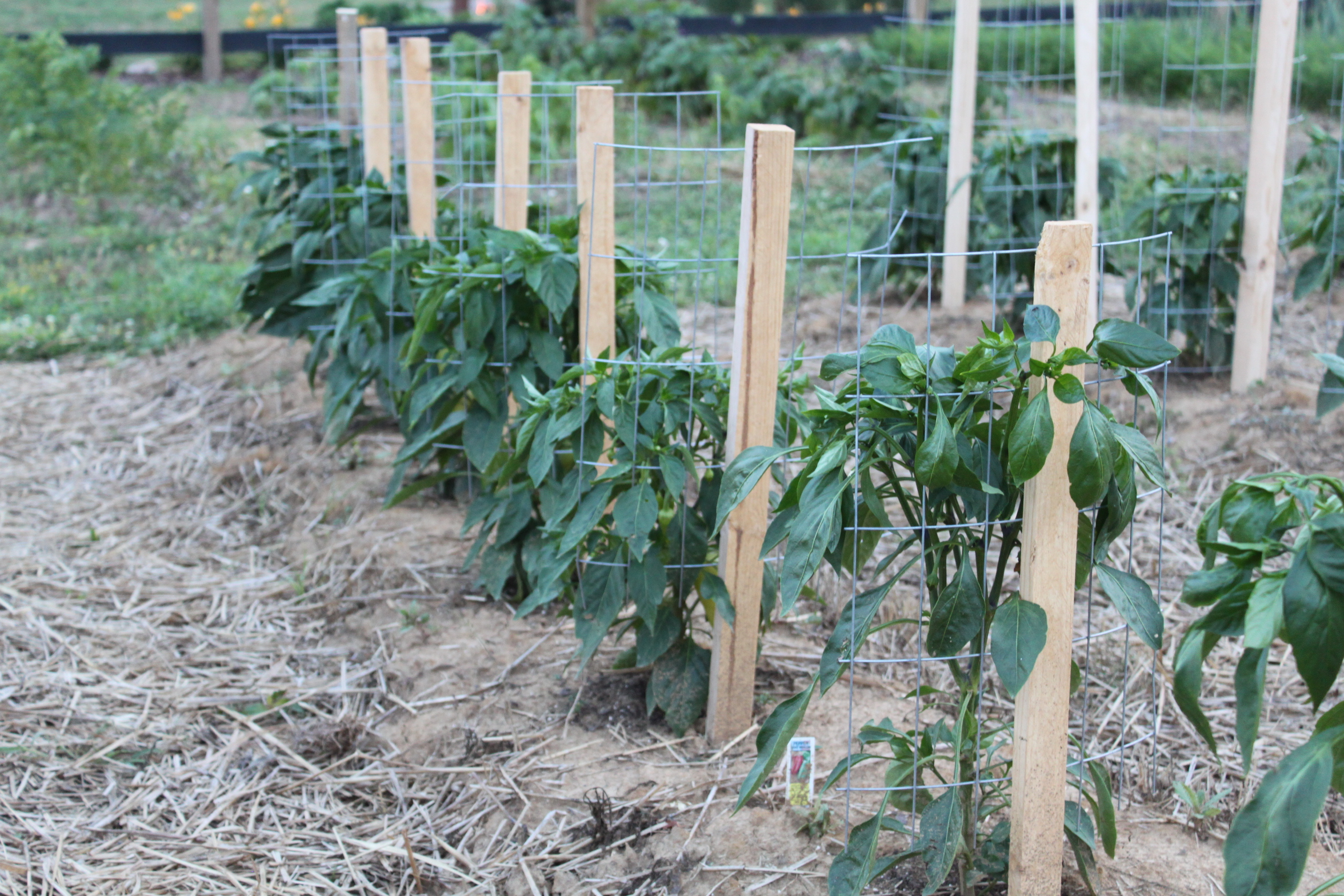 Staking: A Great Way To Stake Your Tomatoes