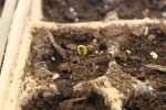 A young seedling emerges from the soil