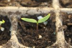 The seedling emerges with two full leaves - now is the time to thin