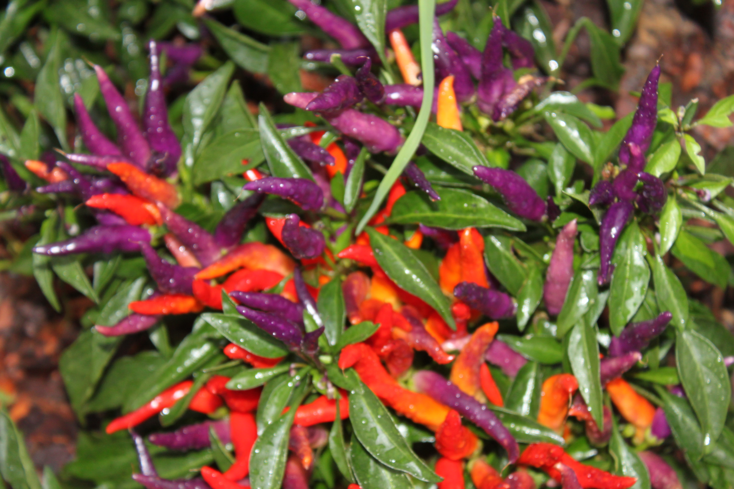 Ornamental peppers in the landscape spice up your flower for Ornamental garden plants