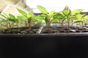 There is something so exciting about starting plants from your own saved seeds