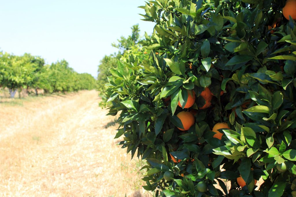 finca citricos ecologicos juan y cesar olefruits