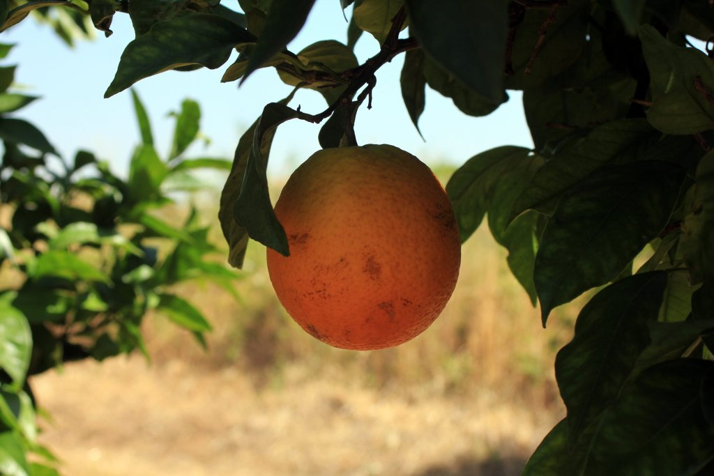 finca de naranjas olefruits