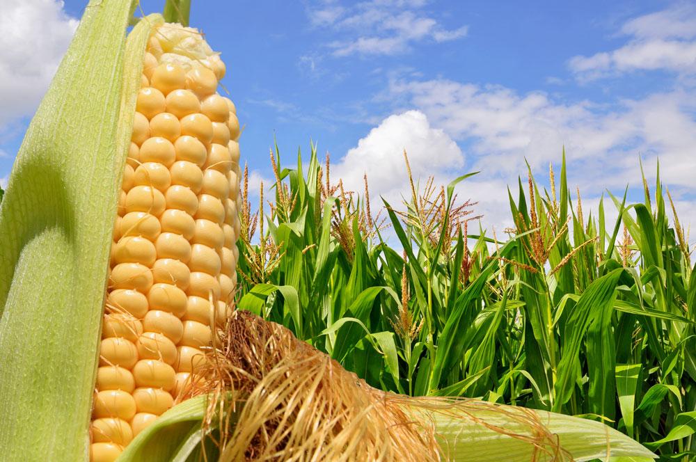 Agricultores se manifiestan por inconformidades en el precio del maíz