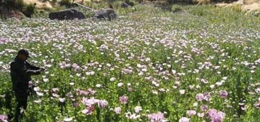 Casi 10 mil plantíos de droga destruidos en el último mes