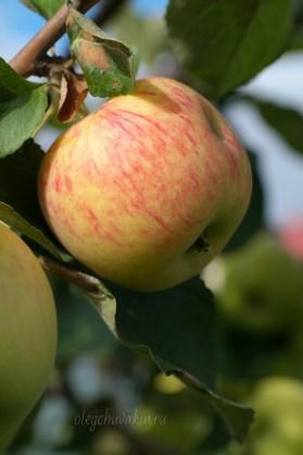 Яблоко краснеющее